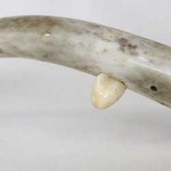 Red Stag Antler Sperm Whale